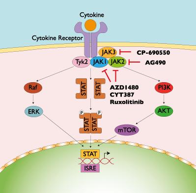 Pathways of inhibition of JAK/STAT activation