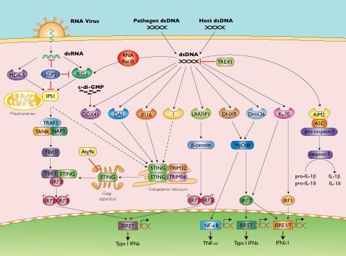 CDS pathway