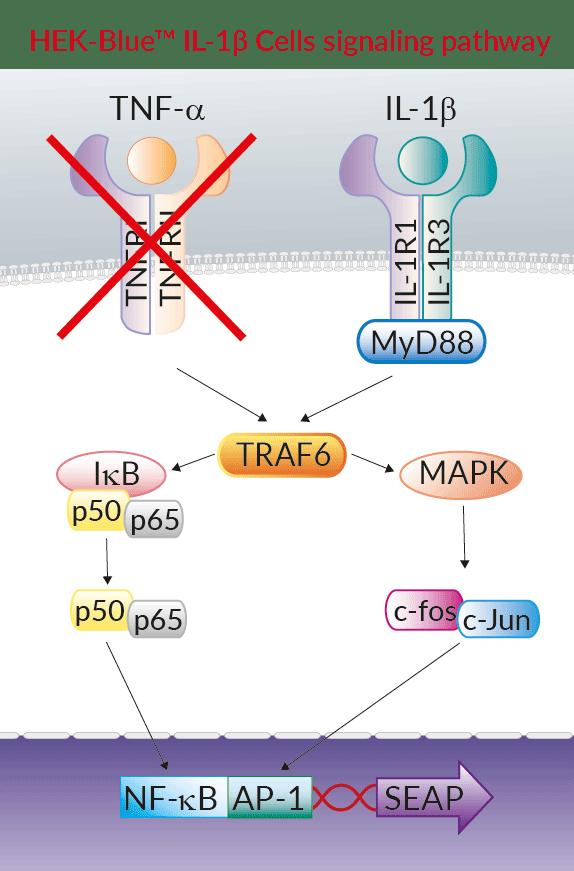 HEK-Blue IL-1beta Cells | human IL-1 beta Reporter Cells