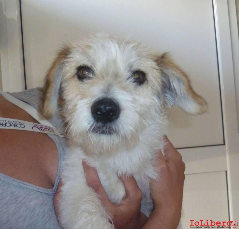 03/06/2013 cane maschio. Manto tolettato da poco. Età circa 8/10 mesi. Taglia piccola. No microchip. Zona Torvaianica (Rm)   IoLibero
