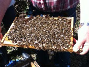Breeshey bees 003