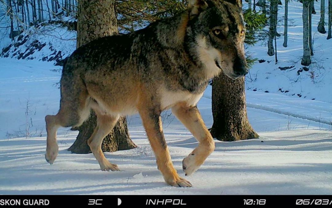 I lupi della Valle: Codino & Sottiletta