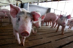 Iowa lawsuit over California's hog-confinement law headed for a hearing 2