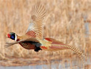 DNR: Pheasant season could be second-best in 12 years 25