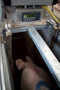 sow weight monitoring