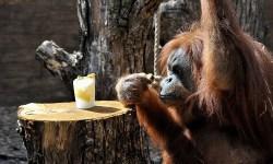 Domenica 19 agosto il Bioparco di Roma festeggia la giornata degli oranghi