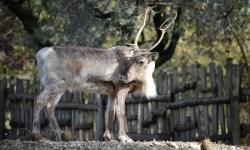 Le renne di foresta tornano in natura grazie ai parchi zoologici