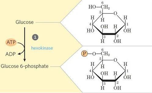 Glucólisis paso 1 - Fosforilación de glucosa