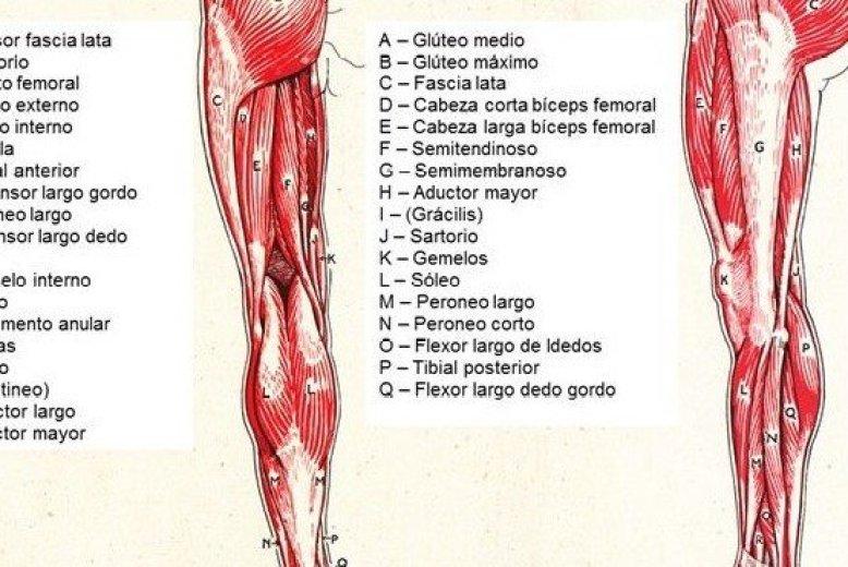 Musculos de la pierna: Partes, Consejos y Funciones
