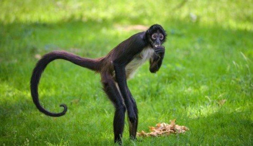 Un mono aullador cerca de las casas en Playa Hermosa, Costa Rica, el 2 de septiembre de 2015 Toh Gouttenoire The New York Times