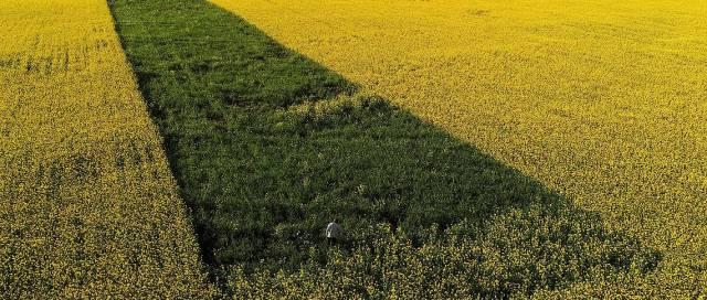 A man walk in a field sowed of lucerne and oat in Krasnoyarsk region
