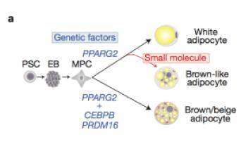 Moisan et al, brown fat pathways.