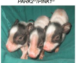 CRISPR pigs