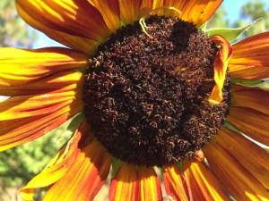 spider sunflower