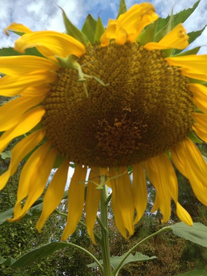 mantis on sunflower