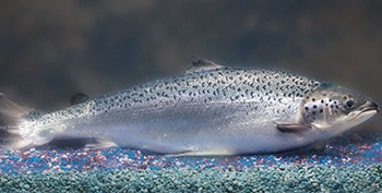 AquaAdvantage Salmon