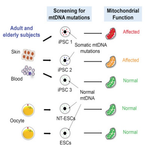 New mitalipov paper on stem cell mitochondria challenge for ips graphical abstract kang et al 2016 ccuart Choice Image