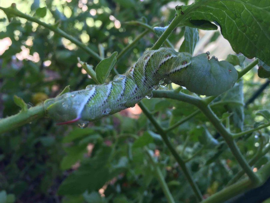 Giant tomato hornworm