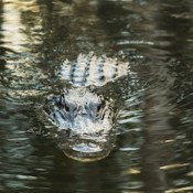 American alligator in the Florida Everglades.