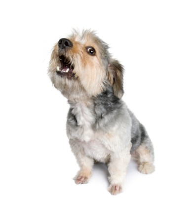 https://depositphotos.com/10882248/stock-photo-cross-breed-dog-4-years.html