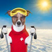 https://depositphotos.com/17158459/stock-photo-skiing-dog.html