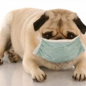 https://depositphotos.com/24175479/stock-photo-sick-or-contagious-pug-wearing.html