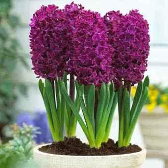 Hyacinth-plant-3