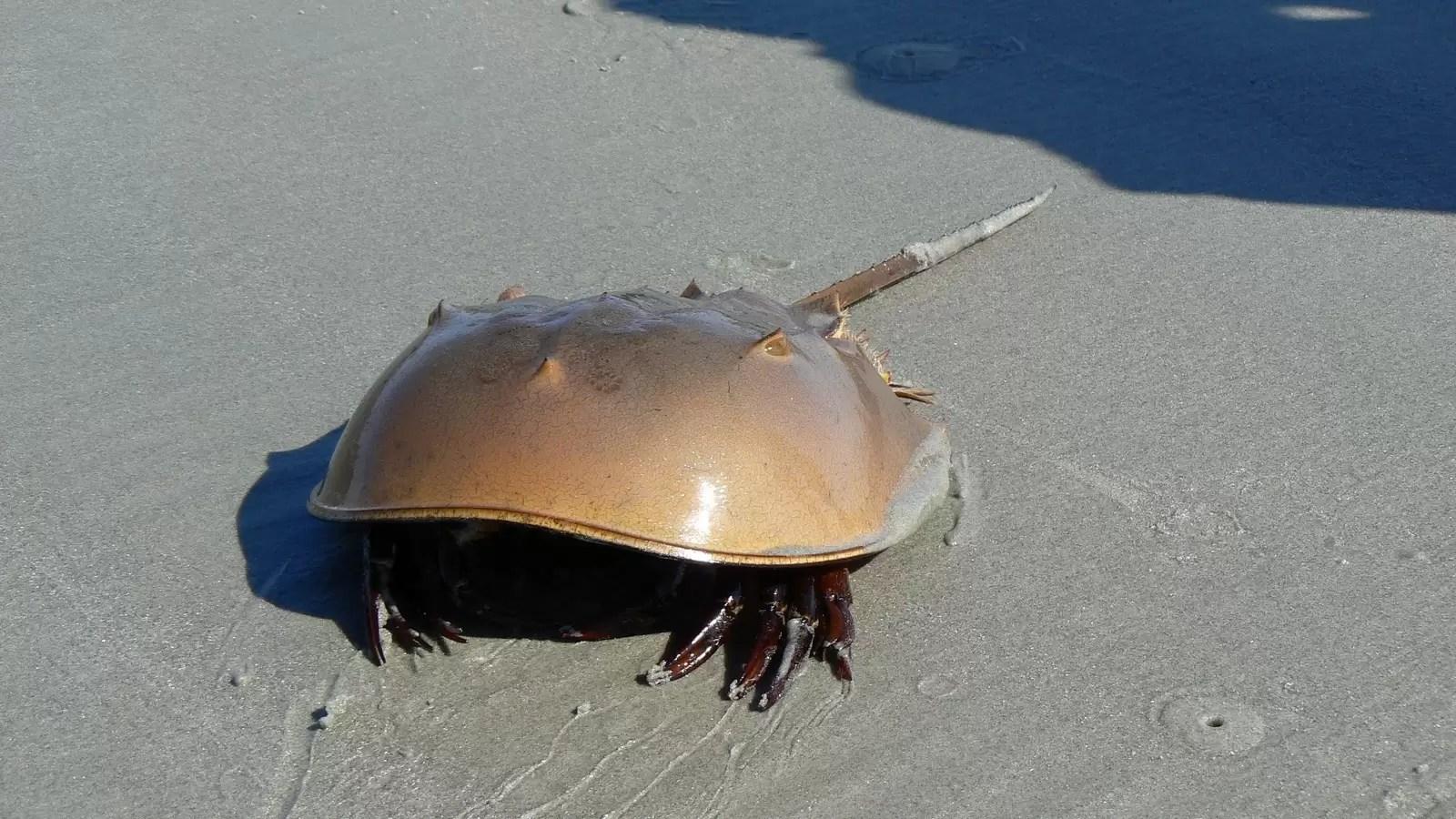 Crabul potcoavă
