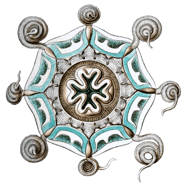 600px-Aeginura_grimaldii_by_Haeckel