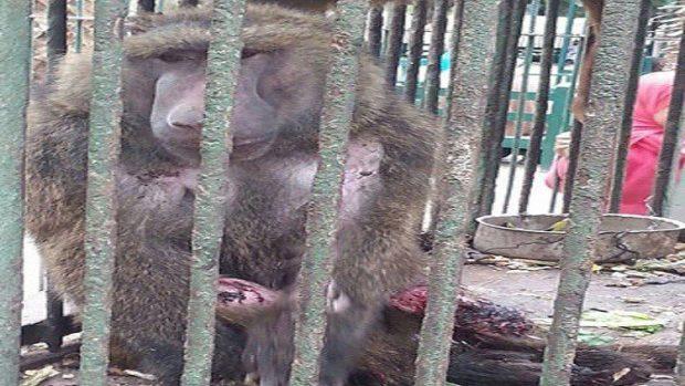 محاولة انتحار قرد في حديقة الزقازيق المصرية بسبب الكبت الجنسي!