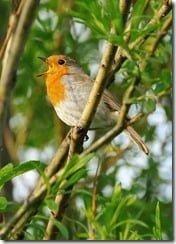 Robin singing (photo by nagillum on Flikr)