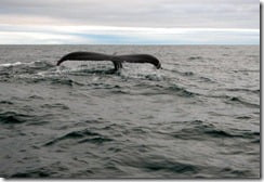 Seeing the humpback in its element is at once an exhilarating and humbling experience.