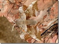 Laothoe populiis -- The Poplar Hawk Moth