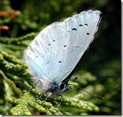 Holly Blue (Celastrina argiolus)