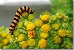 Arms race: the common ragwort (Senecio jacobaea) and the characteristically striped caterpillar of the cinnabar moth (Tyria jacobaeae), are locked in an ongoing evolutionary battle.