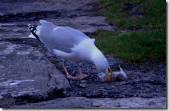 A herring gull tucking in to someone else's breakfast