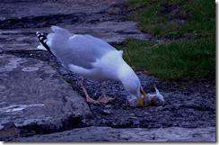 A herring gull tucking in to someone else's breakfast