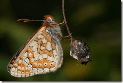 Rare Marsh Fritillary to be surveyed nationwide