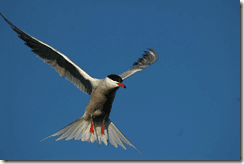 Common Tern (Sterna hirundo) -- one of the species being tracked as part of the FAME project