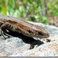 Common Lizard (Lacerta vivipara)