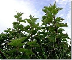Painful chemistry: the stinging nettle's burning venom is made up of chemical mixture containing histamine, acetylcholine and serotonin.