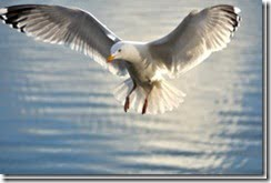 Herring Gull (Larus argentatus) in flight