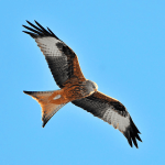 Red Kites Released in North Dublin