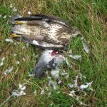 "Shocking ""live bait"" poisoning of buzzards in Rosscrea"