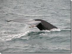 humpback1