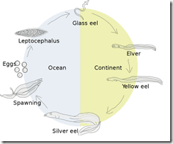 Eel Life Cycle