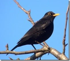 Blackbird, Turdus merula -- perhaps Ireland's most familiar thrush
