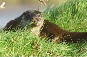 The otter -- Lutra lutra -- has its European stronghold in Ireland