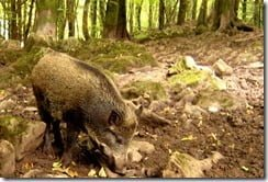 Wild Boar -- native or invasive?