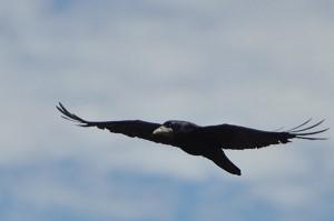Rook -- Ireland's most common crow